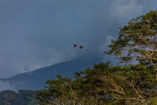 two parrots fly over misty Costa Rican jungle