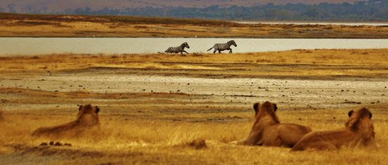 lions and zebras in the Tanzanian steppe