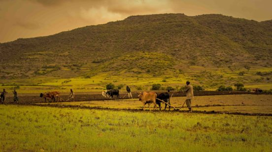 several farmers and cattle plow in Tigray, Ethiopia