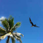 a flying frigate bird and a frigate bird sitting on a palm tree