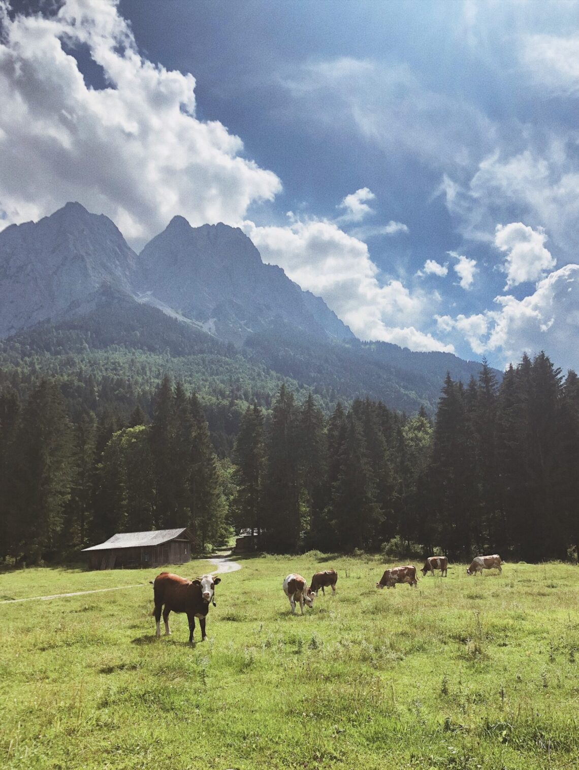 brown and white cows on a meadow during daytime, trees and forest in the background